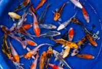 Jual Ikan Koi Kediri Harga Murah