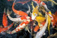 Harga Bibit Ikan Koi Kualitas Bagus