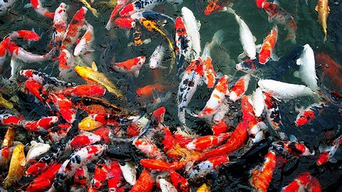 Bibit Ikan Koi Siap Kirim Seluruh Indonesia